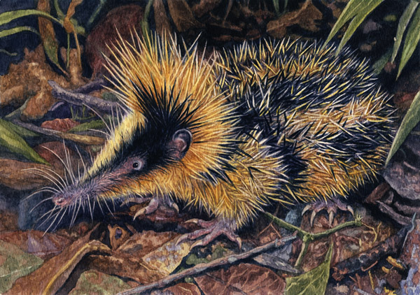 Lowland Streaked Tenrec by Willem.