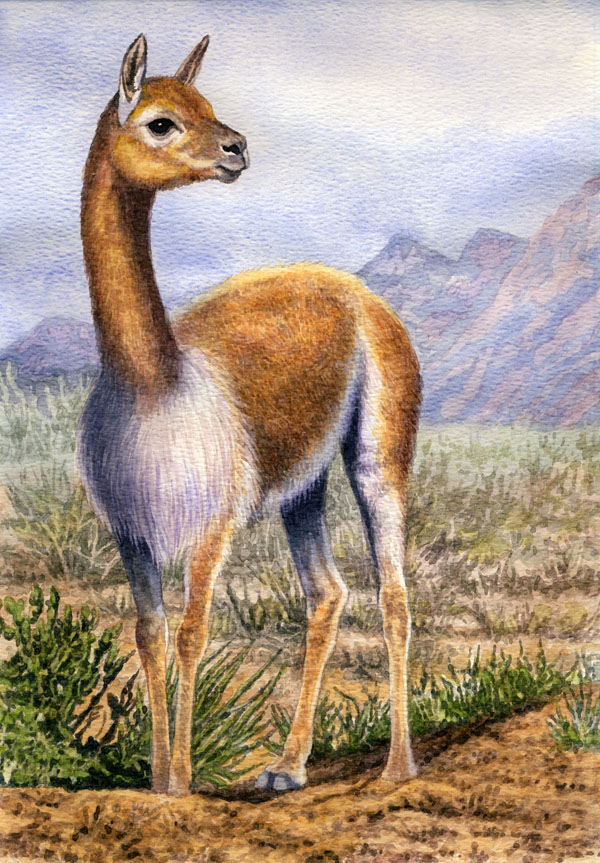 Vicuna  by Willem.