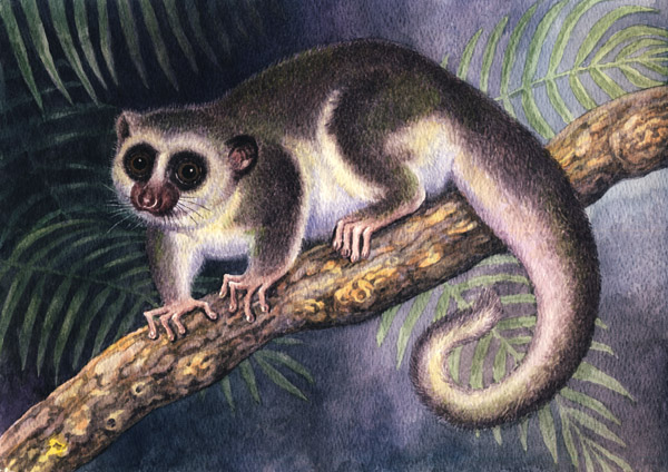 Fat-Tailed Dwarf Lemur by Willem.