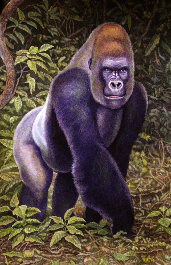 Western Lowland Gorilla by Willem.