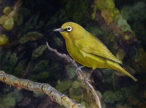 Cape White-Eye by Willem.