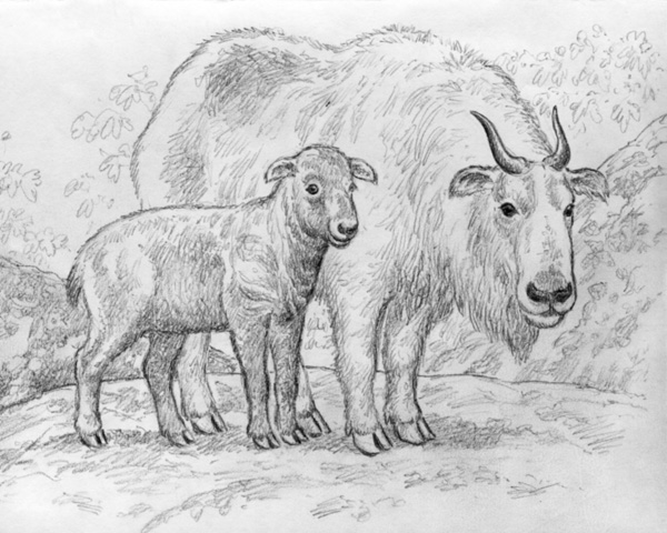 Golden Takin and baby by Willem.