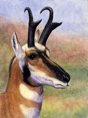 Pronghorn by Willem