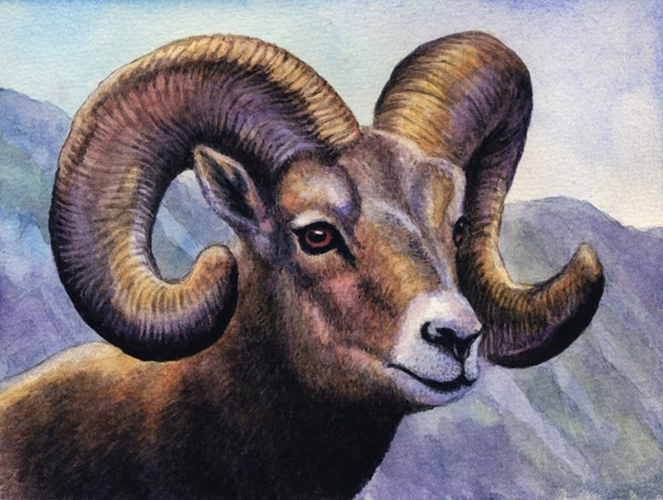 Bighorn Sheep  by Willem.
