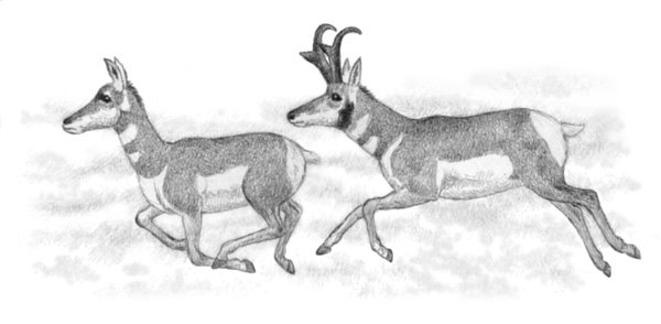 Pronghorns by Willem