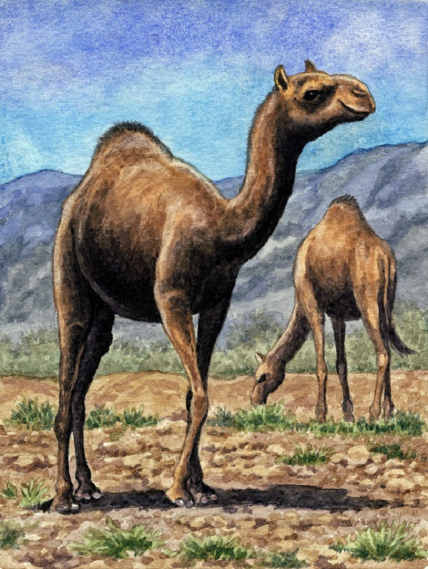 Dromedaries by Willem