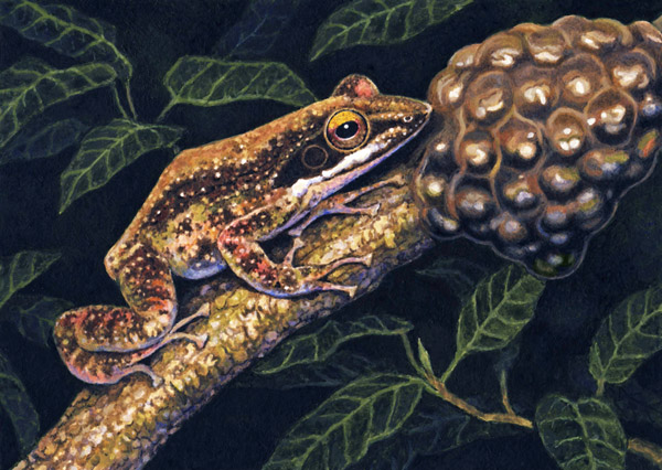 Kloof Frog by Willem.