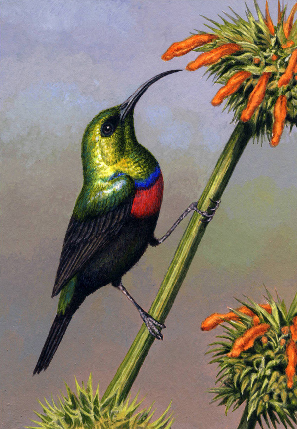 Marico Sunbird by Willem.