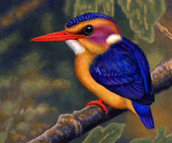Pygmy Kingfisher by Willem.