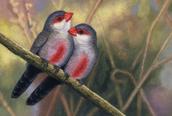 Common Waxbills by Willem.