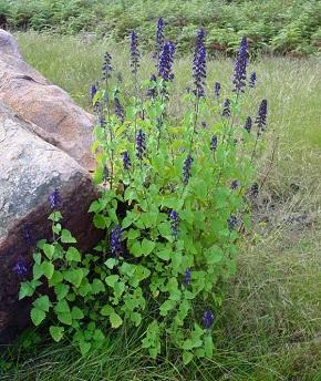 Deep Blue Sage