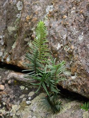 Rock Fern