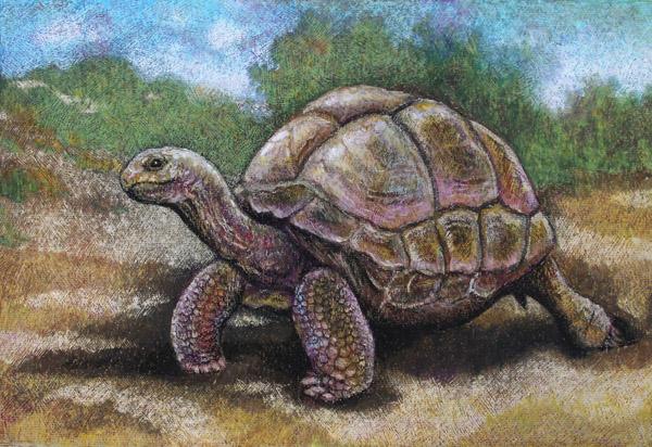 Aldabra Giant Tortoise by Willem.