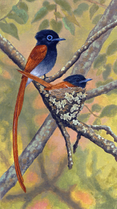 African Paradise Flycatchers by Willem