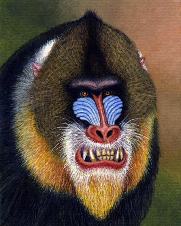Mandrill by Willem