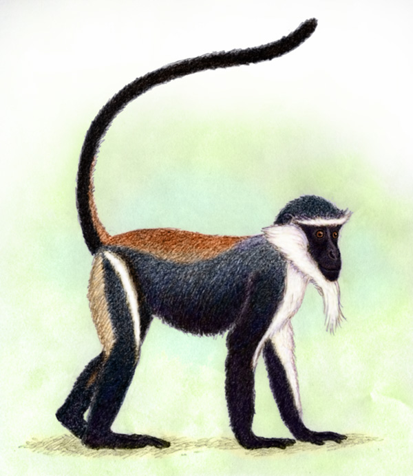 Roloway Monkey by Willem.