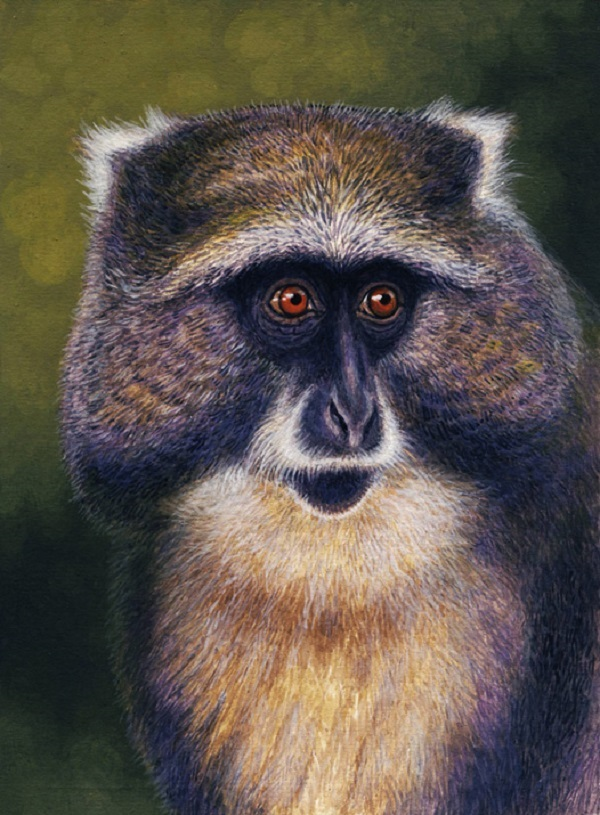Samango Monkey by Willem.