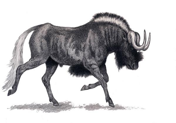 Black Wildebeest by Willem