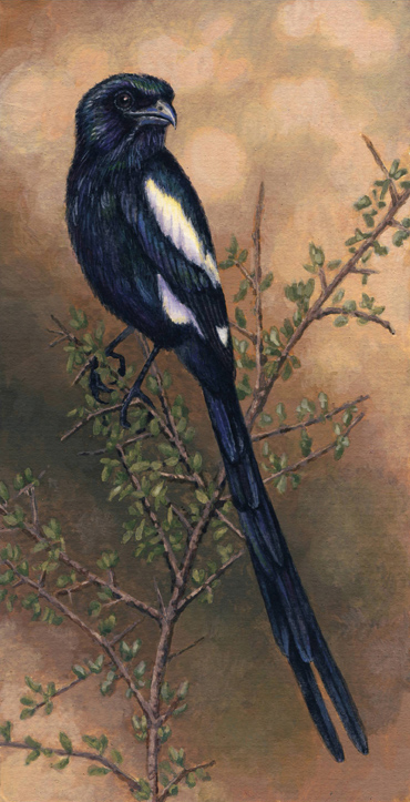 Magpie Shrike by Willem