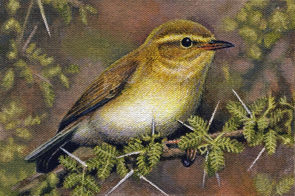 Willow Warbler by Willem