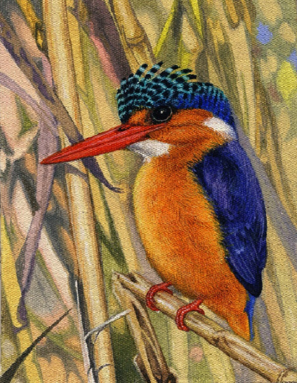 Malachite Kingfisher by Willem.
