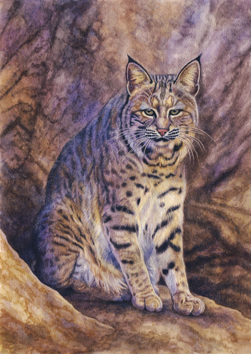 Bobcat by Willem