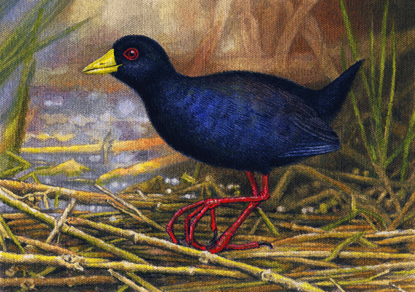 Black Crake by Willem