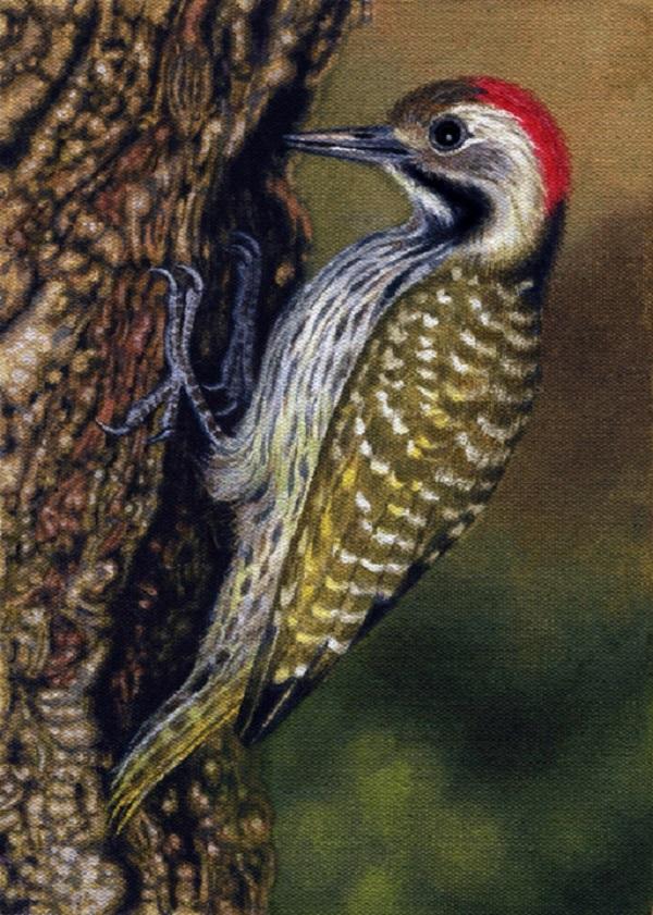 Cardinal Woodpecker by Willem