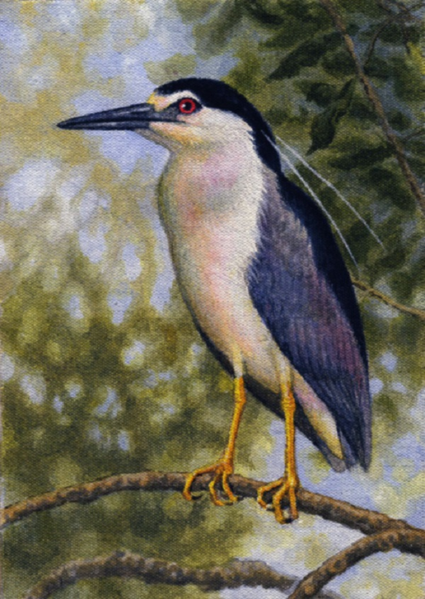 Black-Crowned Night Heron by Willem