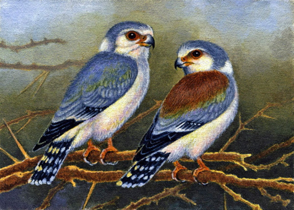 Pygmy Falcons by Willem