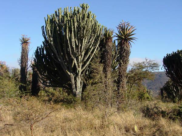 Aloe Euphorbia landscape