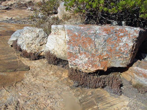 Crassula in crevice