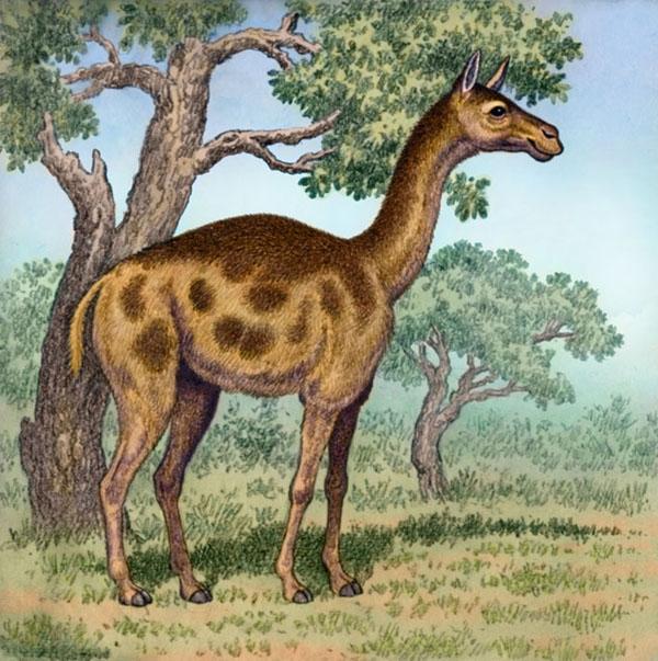 Oxydactylus