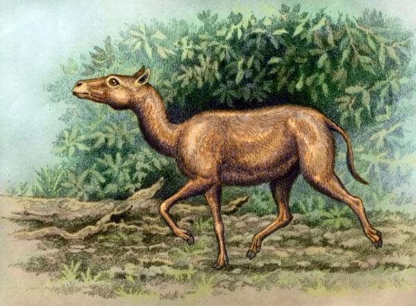 Protylopus