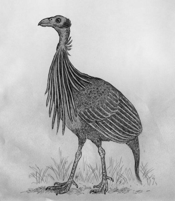 Vulturine Guineafowl by Willem