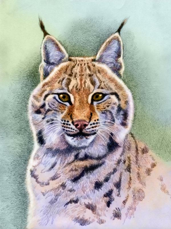 Eurasian Lynx by Willem