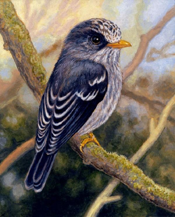 Humblot's Flycatcher by Willem