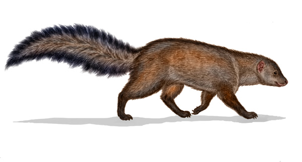 Meller's Mongoose by Willem