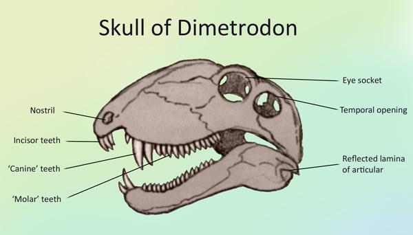 Dimetredon skull.