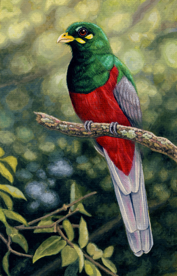 Narina Trogon by Willem