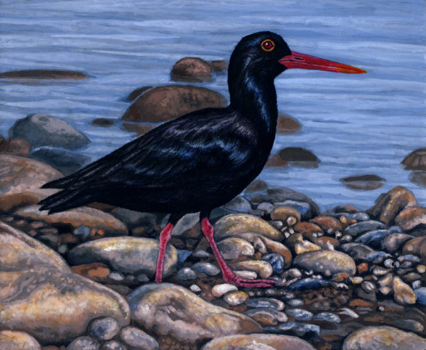 African Black Oystercatcher by Willem