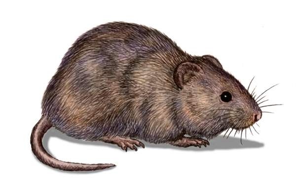 Marsh Rat by Willem