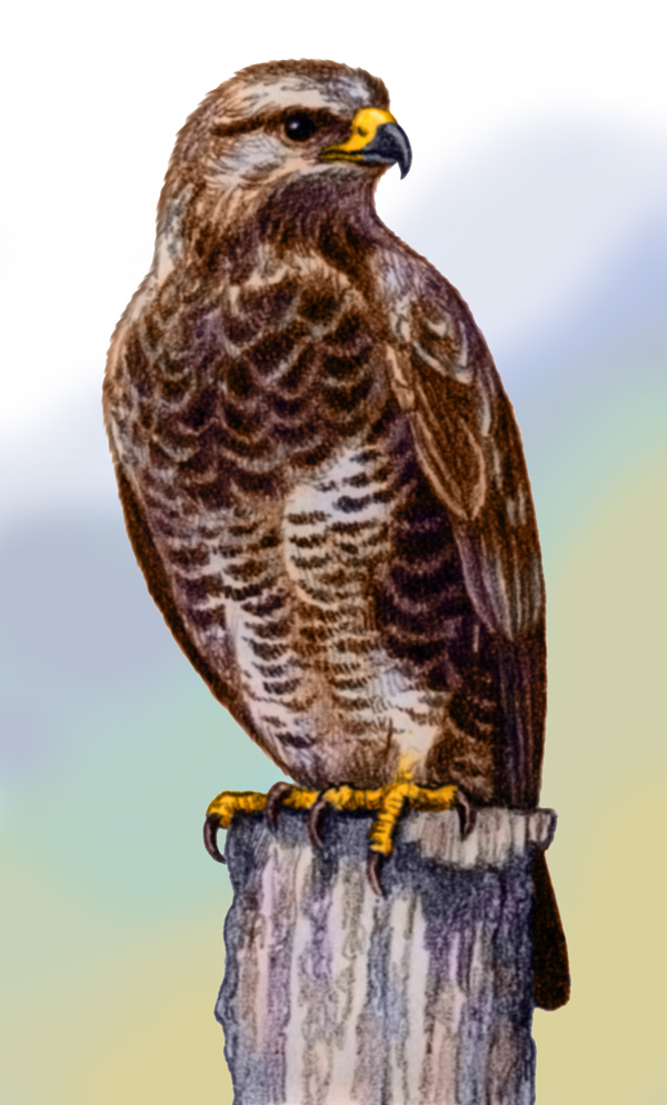 Common Buzzard by Willem
