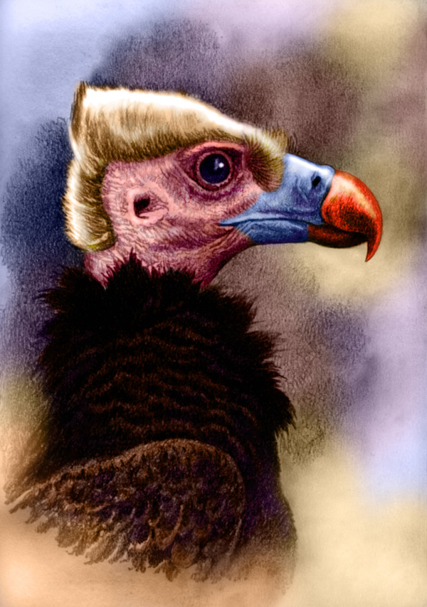 White-Headed Vulture by Willem