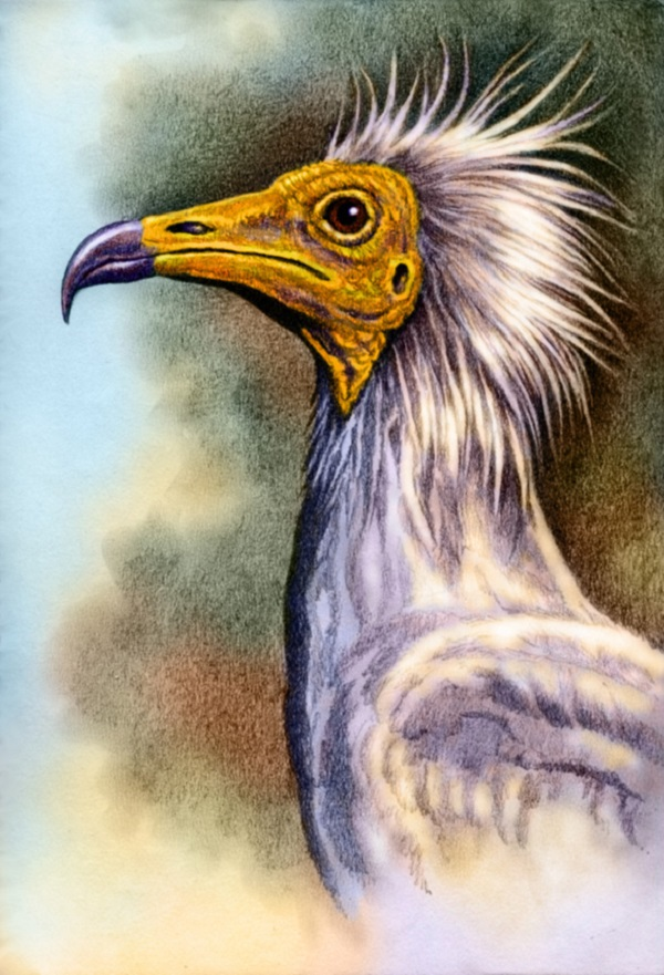 Egyptian Vulture by Willem