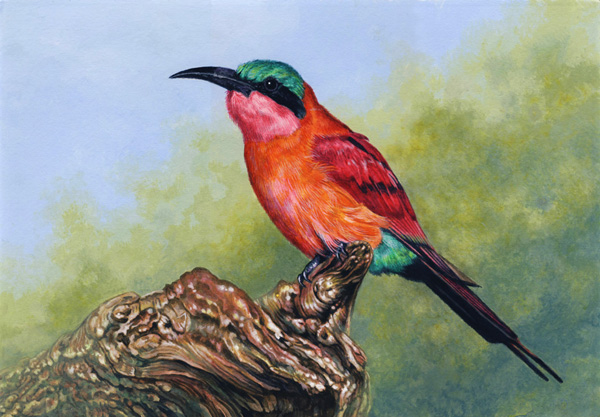 Carmine Bee-Eater by Willem