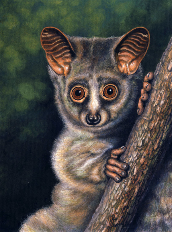 Greater Galago by Willem