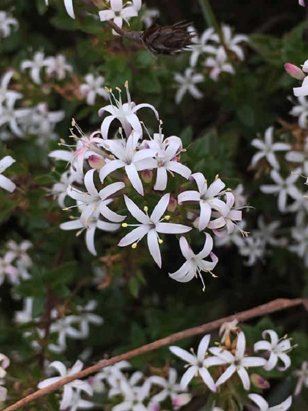 Otiophora
