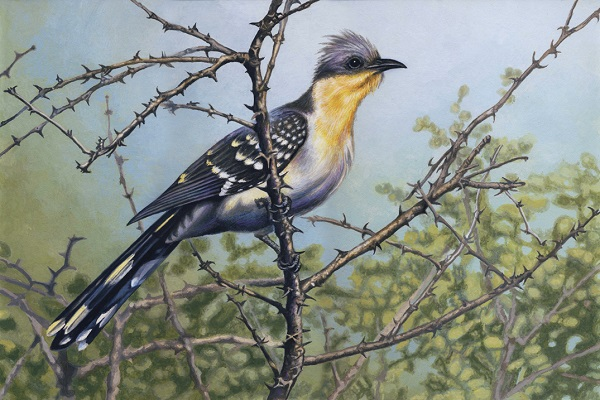 Great Spotted Cuckoo by Willem