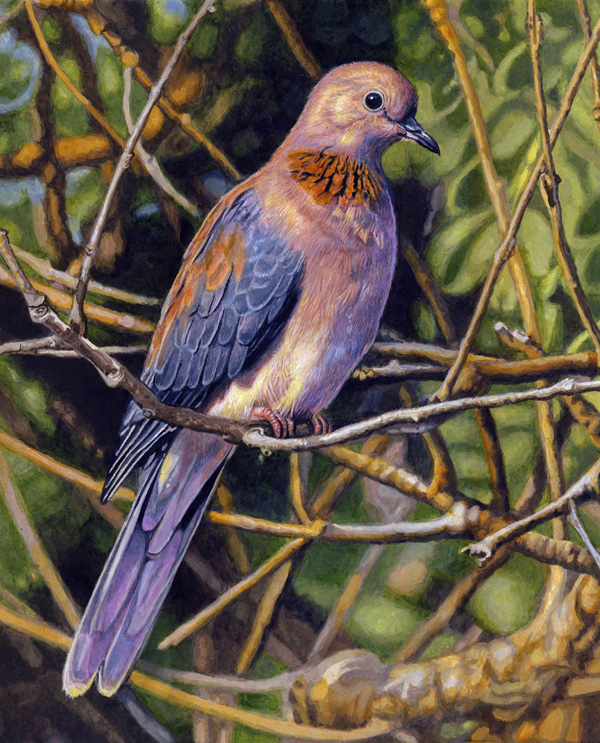 Laughing Dove by Willem